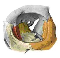 Ossos constituintes da cavidade orbitária
